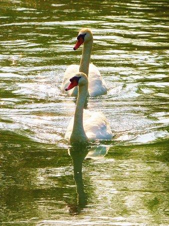 Le Parc de la Bouvaque: bouvaque-cygnes