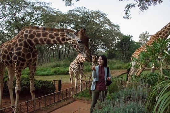 Giraffe Manor - Morning with the Rothschild's Giraffes