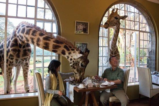 Giraffe Manor - Breakfast with the Rothschild's Giraffes