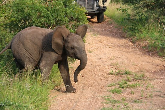 Timbavati Private Nature Reserve, Sudafrica: baby elephant
