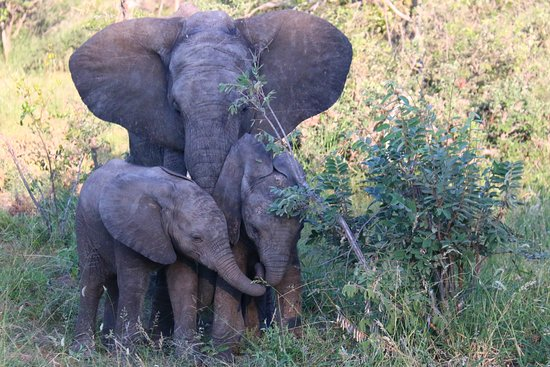 Timbavati Private Nature Reserve, Sudafrica: baby elephants
