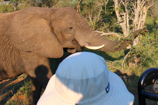 Timbavati Private Nature Reserve, South Africa: elephant near vehicle