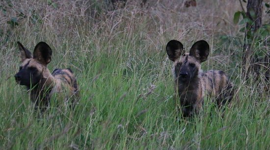 Timbavati Private Nature Reserve, South Africa: African wild dogs