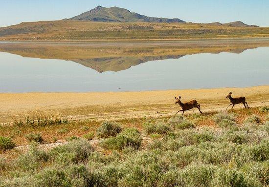 Antelope Island State Park: Mule Deer