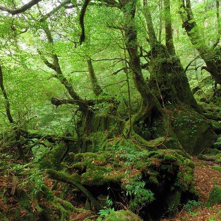 白谷雲水峽 (熊毛郡屋久島町)白谷雲水峽 Shiratani Unsuikyo Valley