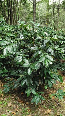 New Fantastic Asia Travels & Tours: Coffee Plant