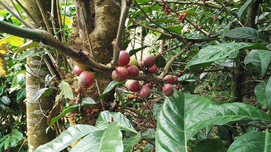 New Fantastic Asia Travels & Tours: Coffee seed