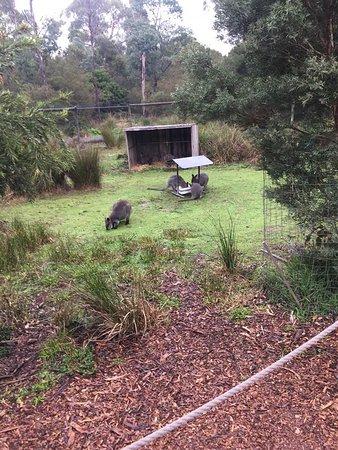 Healesville Sanctuary General Entry Ticket: Kangaroo's