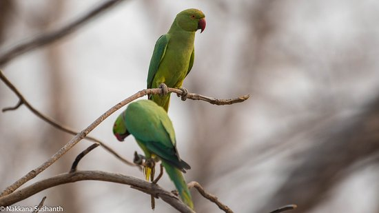 Yavatmal, India: Rose ringet parakeet