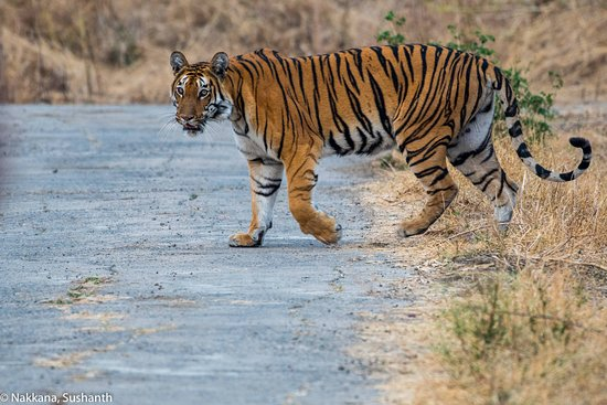 Yavatmal, อินเดีย: Tigress crossing the road
