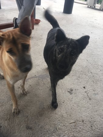 Tha Yang, Thailand: Dogs