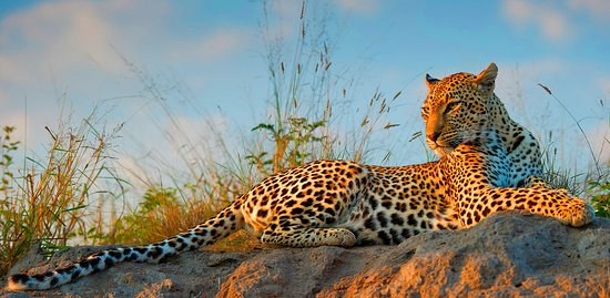 Camps Bay, Südafrika: The magnificent leopard is one of the Big 5, and a popular sighting on Safari