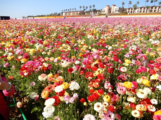 写真Carlsbad Flower Fields枚