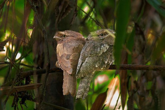 Sinharaja Forest Reserve: Frogmouth
