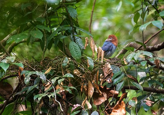 Sinharaja Forest Reserve: Blue Magpie