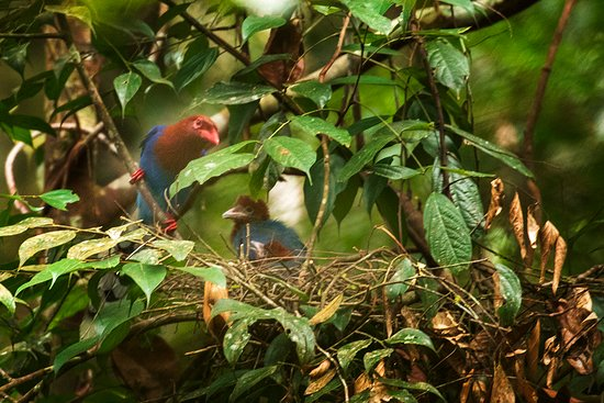 Sinharaja Forest Reserve: Blue Magpie with nest