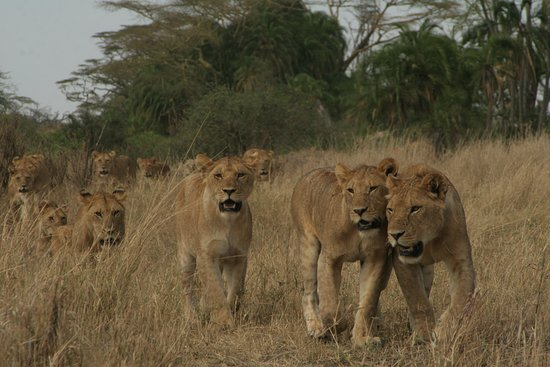 Moshi, Tanzania: One of the most biggest pride of lions around the Seronera valley in Serengeti national park