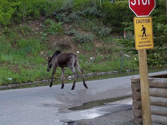 Wildlife Expeditions of Teton Science Schools: Moose!
