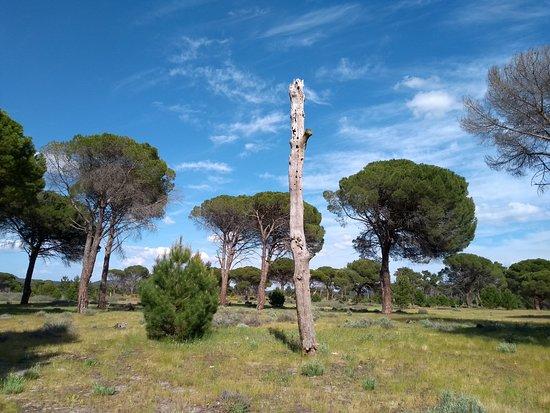 Aldeamayor de San Martin, Spain: Sorprende el árbol seco sobre los pinos