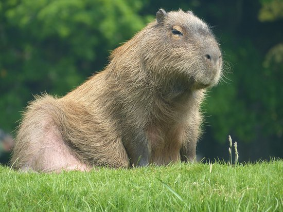 Sparkwell, UK: Capybara