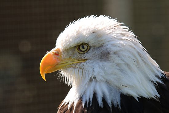 Raptor Foundation: Eagle