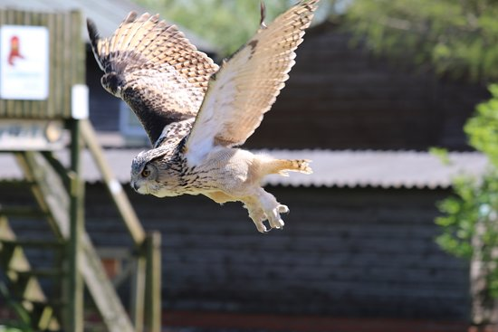 Raptor Foundation: Eagle Owl