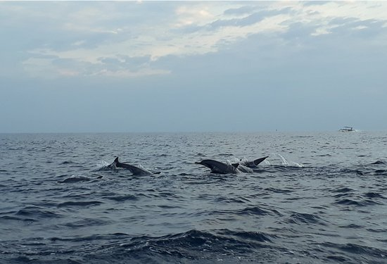 Pemaron, Indonezja: Dolphin in the Sea near the hotel