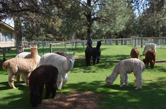 Terrebonne, OR: Alpacas