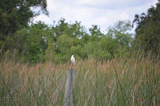 Lake Hamilton, فلوريدا: Cò trắng