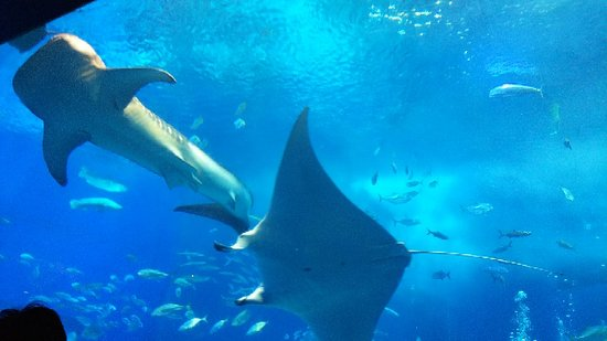 Okinawa Churaumi Aquarium: 巨大水槽
