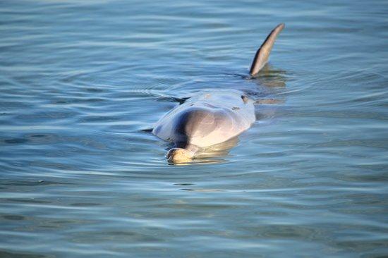 Monkey Mia Reserve: Dolphin swimming in close
