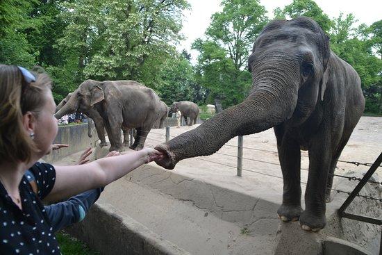 Tierpark Hagenbeck: Fodring af elefanter