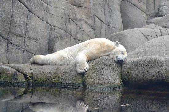 Tierpark Hagenbeck: Træt isbjørn