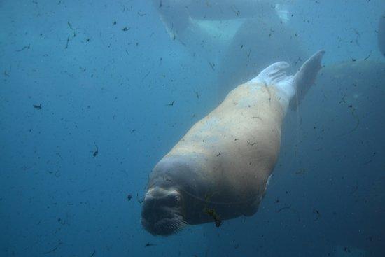 Tierpark Hagenbeck: Kæmpe hvalros