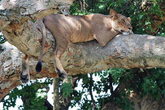 Kampala, Oeganda: Tree climbing lion in Queen Elizabeth National Park