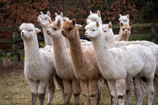 Wicklow, Ireland: Alpaca Trekking