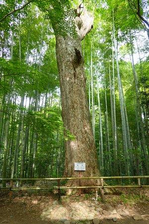 Chuson-ji Temple: 天然記念物のモミ