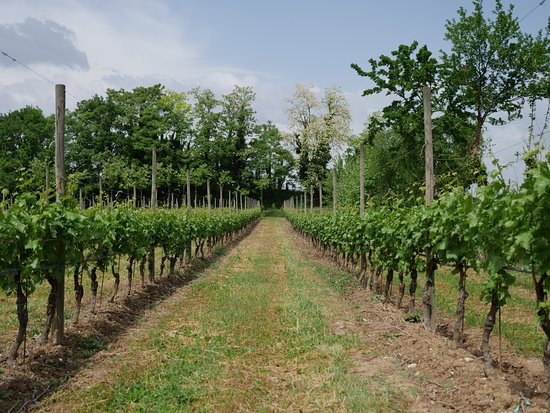 Lugana Wine Tours: Wineyard