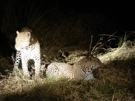 ‪‪MalaMala Sable Camp‬: MalaMala leopards on date night :o)‬