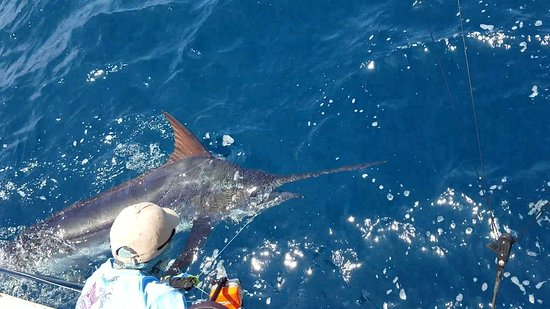 San Cristobal, Ecuador: Getting ready to release a big Blue Marlin in this years Marlin University.  getlstd_property_ph