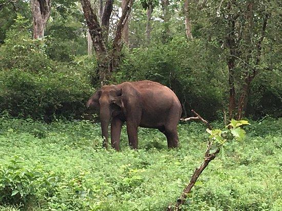 Mananthavady, Ινδία: Wild elephant