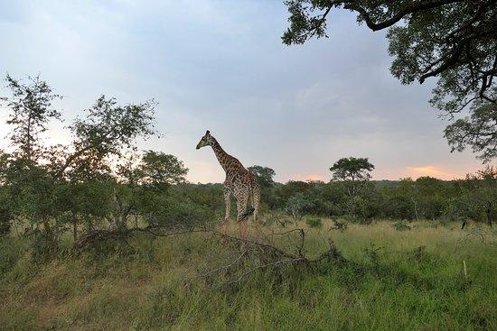 Ulusaba Private Game Reserve لوحة