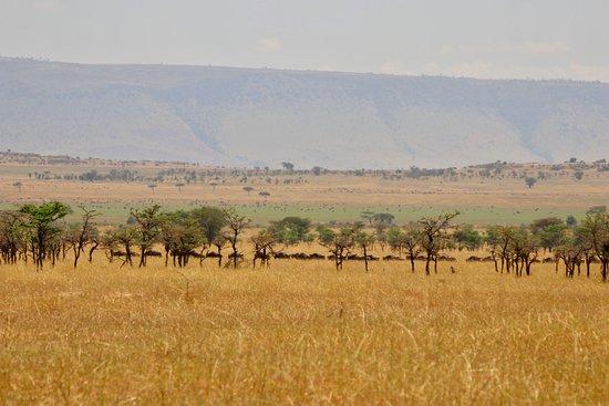 Serengeti Migration Camp: Line of wildebeest near the camp.