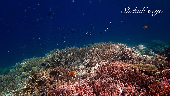 Shehab Boat Diving Center: Corals