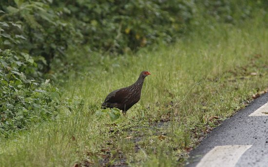 Nyungwe National Park: Handsome Francolin - very common in Nyungwe