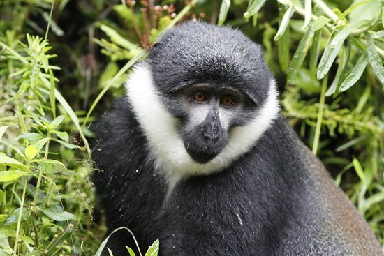 Nyungwe National Park: L'Hoest's Monkey, very common throughout park
