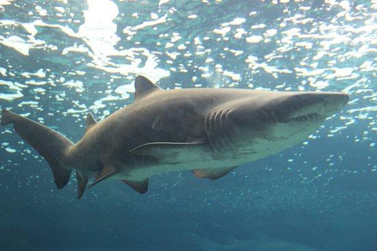 Гурнес-Педиадос, Греция: Акула