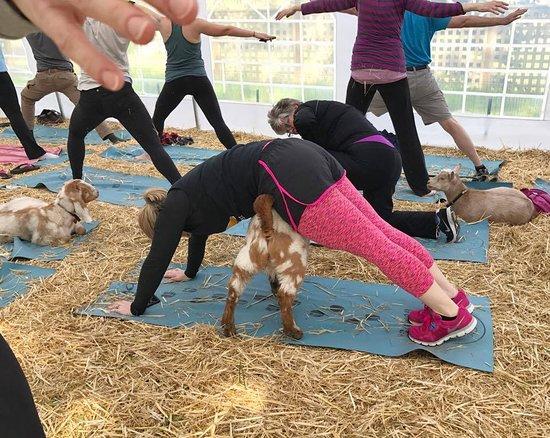 Averill Park, NY: Goat Yoga