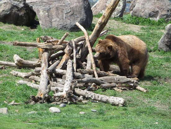 Montana Grizzly Encounter: Bella in the viewing area