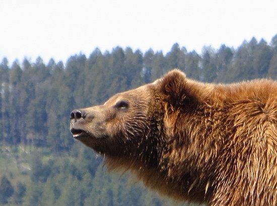 Montana Grizzly Encounter: Bella
